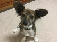 24 - 琉球犬mix白トゥラーのピカ