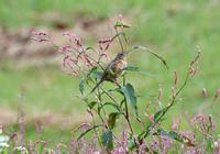 ホオアカ - 可愛い野鳥たち 2