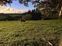 ニュース速報、入りすぎ/Watching Kavanaugh 'Spectacle' with My Cows - アメリカからニュージーランドへ