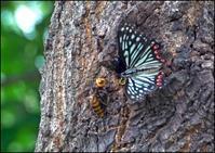 この夏出会った蝶々さん。 - イーハトーブ・ガーデン