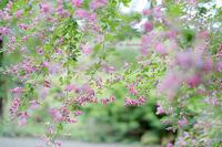 向島百花園〜萩の花〜 - Photographie de la couleur