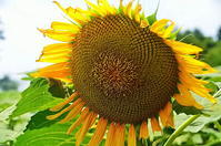 野津の日の思い出向日葵 - 風の香に誘われて 風景のふぉと缶