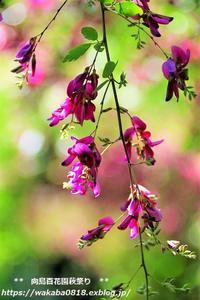 向島百花園に咲く萩の花をアップで(^^♪ - 自然のキャンバス