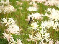 北川村のモネの庭に咲く白い曼珠沙華♪ - アリスのトリップ