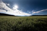 椛の湖そばの花まつり - 感動模写Ⅱ