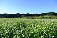 奈良県桜井市笠ソバの花 - 平凡な日々の中で