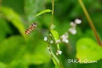Syrphidae - TAKA-Qizm
