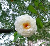 9/30(日)①     台風25号🌀 - Evergreen. ~常磐に唐草*庭の花~