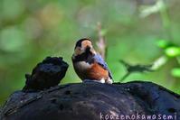 お山のヤマガラ - 気ままな生き物撮り