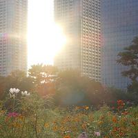 秋を感じて浜離宮コスモス撮影会うす紅のコスモスが秋の夕日に揺れている18.09.16 16:55 - スナップ寅さんの「日々是口実」