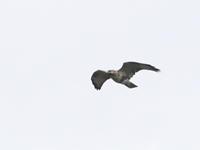 ノスリも渡る白樺峠 - コーヒー党の野鳥と自然 パート2