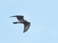 白樺峠のサシバ成鳥 - コーヒー党の野鳥と自然 パート2