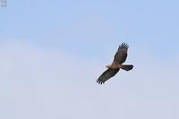 ハチクマの飛翔と、ちょっと鷹柱 - 野鳥公園