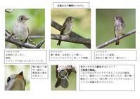 サメビタキの識別 - 鳥×撮り+あるふぁ~