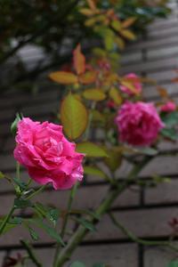 秋薔薇 - 散策のすすめ