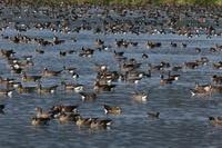 昨日の宮島沼でマガン - 今日の鳥さんⅡ