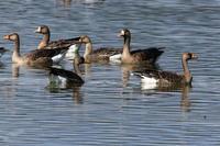 宮島沼のマガン昨日の撮影分の続き - 今日の鳥さんⅡ