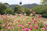 鮮やかな色が写真にも映えるセンニチコウ - 神戸布引ハーブ園 ハーブガイド ハーブ花ごよみ