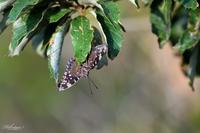秋のスミナガシ - 蝶鳥写楽