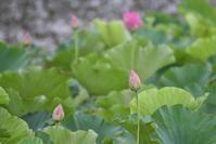 蓮の花咲く池にて - てるっち日記 野鳥編