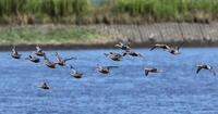 MFの沼へハシビロガモの群れが - 私の鳥撮り散歩