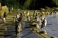 ナイトズー2018~ナイト・ペンギン&プーズー(埼玉県こども動物自然公園) - 続々・動物園ありマス。