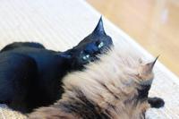 かわいがったり甘えたり♪ - きょうだい猫と仲良し暮らし