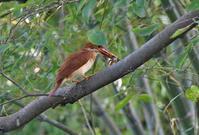 アカショウビン・・・幼鳥のえさ獲り - 赤いガーベラつれづれの記