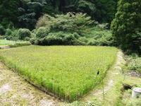 米作りへの挑戦!順調に育っていたところに、台風24号が!!! - FLCパートナーズストア