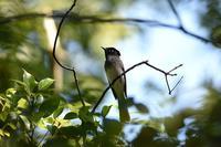 サンコウチョウ - 野鳥がいるから