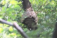 ■ハチの巣の底が抜けた!18.10.1 - 舞岡公園の自然2