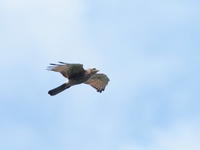 白樺峠のサシバ幼鳥 - コーヒー党の野鳥と自然 パート2