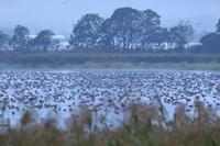 宮島沼のマガンと♪ - 北の大地で野鳥ときどきフライフィッシング
