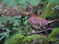 お山のヤマドリたち - トドの野鳥日記