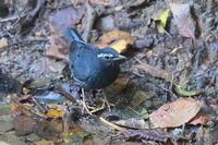 未だ居た、マミジロオスの成鳥 - 上州自然散策2