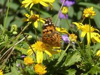 ヒメアカタテハ台風の後の庭で - 蝶のいる風景blog