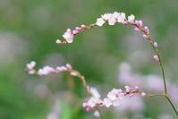 秋の箱根湿生花園 - エーデルワイスPhoto