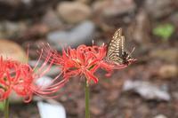 20181001 【蝶】彼岸花にアゲハチョウが - 杉本敏宏のつれづれなるままに