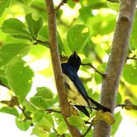 オオルリも赤い実を啄みに・・・ - 一期一会の野鳥たち
