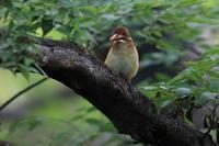 アカショウビン(幼鳥) Ⅳ 旅の栄養源 - 気まぐれ野鳥写真