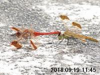 翅が黄金色に輝く細長い蜻蛉 - 権兵衛の蜻蛉雑録