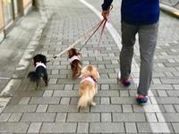 18年10月2日 みんなであさんぽ!&爆睡! - 旅行犬 さくら 桃子 あんず 日記