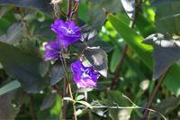 返り咲いたデルフィニウム - my small garden~sugar plum~