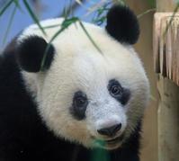 上野がすきシャンシャンその12 - 動物園のど!