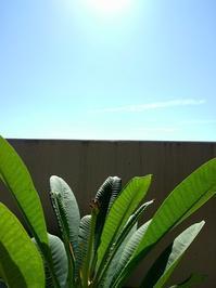 本日のプルメリア - Aloha Kayo-s Style