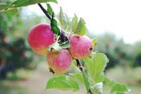 apple picking* - Avenue No.8