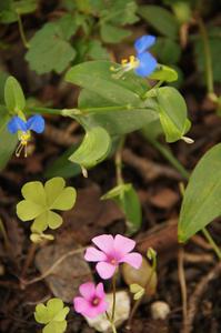 青とピンク~ツユクサとムラサキカタバミ+1 - DOUBLE RAINBOW