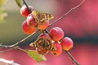 コムラサキうれしい出会い - 蝶のいる風景blog