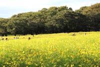コスモス・レモンブライトなど昭和記念公園で - 子猫の迷い道Ⅱ