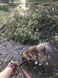 嵐のあと - 琉球犬mix白トゥラーのピカ